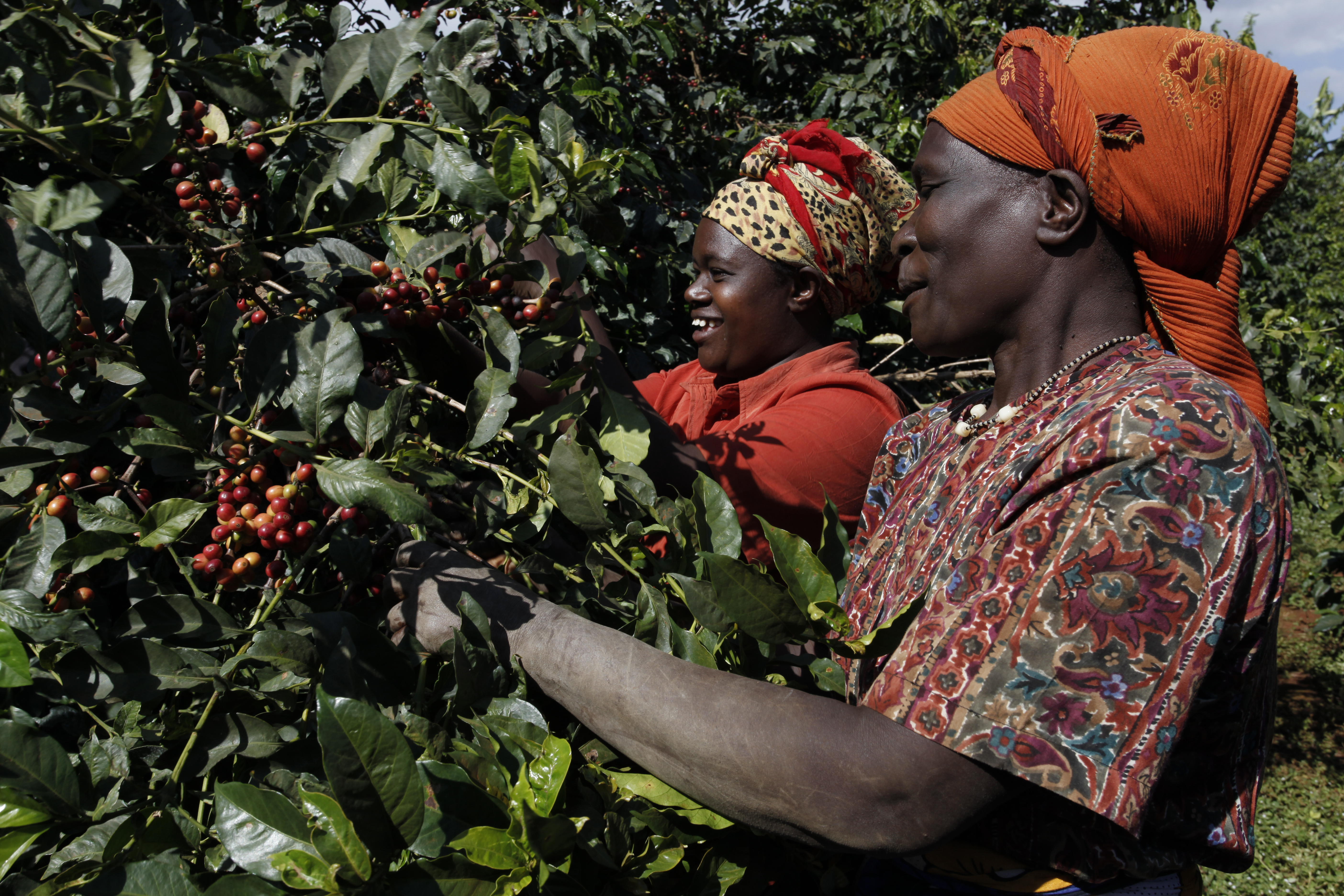 Coffee farmers selectively handpicking ripe cherries